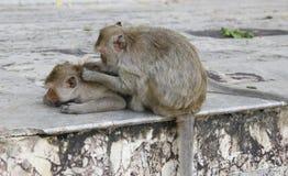 Affe, der Flöhen und nach Zecken sucht Lizenzfreie Stockfotos