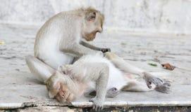 Affe, der Flöhen und nach Zecken sucht Stockfotografie
