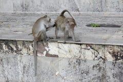 Affe, der Flöhen und nach Zecken sucht Lizenzfreie Stockbilder