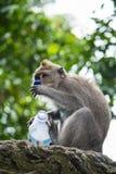 Affe, der Flasche Wasser hält Lizenzfreies Stockbild