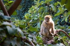 Affe in der freien Natur, Marokko Lizenzfreies Stockbild