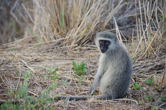 Affe, der freundlich aufwirft Lizenzfreie Stockfotos
