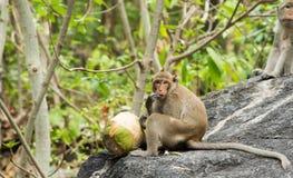 Affe, der frische Kokosnuss isst Stockbild