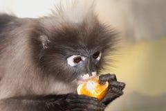 Affe, der Frucht isst (Presbytis-obscura Reid). Stockbild
