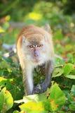 Affe, der geht anzugreifen Stockfoto