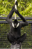 Affe, der gerade heraus hängt Stockbilder