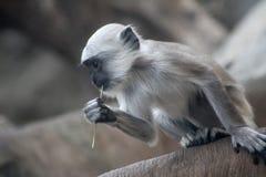 Affe, der Gras isst Stockbild