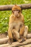 Affe, der herum in Salem, Deutschland schaut Lizenzfreies Stockfoto