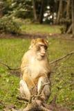 Affe, der herum in Salem, Deutschland schaut Lizenzfreie Stockfotografie