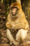 Affe, der herum in Salem, Deutschland schaut Lizenzfreies Stockbild