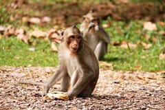 Affe, der herum schaut Lizenzfreies Stockfoto