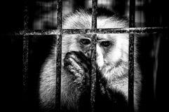 Affe, der hinter Gittern Daumen saugt Stockfotos