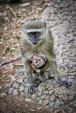 Affe, der ihr Baby trägt Lizenzfreie Stockfotografie