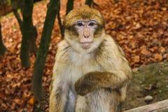 Affe, der im Affenberg-Affehügel Salem sitzt Stockbild