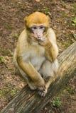 Affe, der im Affenberg-Affehügel Salem sitzt Lizenzfreies Stockbild