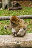 Affe, der im Affenberg-Affehügel Salem sitzt Lizenzfreie Stockfotos