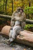Affe, der im Affenberg-Affehügel Salem sitzt Lizenzfreies Stockfoto
