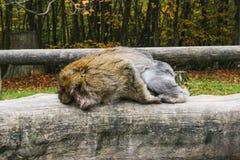 Affe, der im Affenberg-Affehügel Salem sitzt Lizenzfreie Stockfotografie