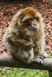 Affe, der im Affenberg-Affehügel Salem sitzt Stockfotografie