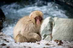 Affe, der im Schnee isst Stockbilder