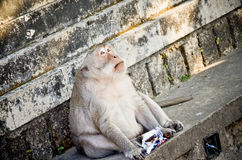 Affe, der im Tempel sitzt Stockbild