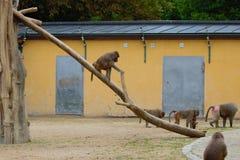 Affe, der im Zoo in Augsburg im Bayern spielt stockfotos