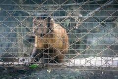 Affe, der im Zookäfig sitzt Stockfoto