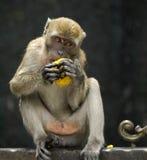 Affe, der indisches traditionelles Gebäck isst Lizenzfreie Stockfotos