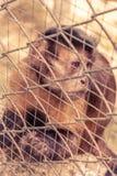 Affe, der innerhalb des Käfigs sitzt Lizenzfreie Stockfotografie