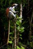 Affe in der Insel von Sansibar Lizenzfreie Stockfotos