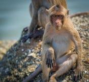 Affe, der intensiv entlang der Kamera anstarrt Stockfotografie