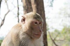 Affe, der irgendwo schaut Stockbilder