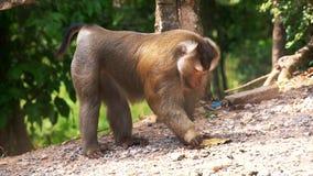 Affe, der Kartoffel etwas vom Boden isst stock footage
