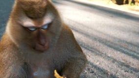 Affe, der Kartoffelchips auf der Straße isst stock video
