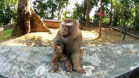 Affe, der Kartoffelchips, wode Winkel isst stock video footage