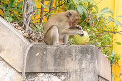 Affe, der Kokosnuss isst Lizenzfreie Stockfotos