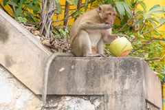 Affe, der Kokosnuss isst Stockbilder