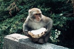 Affe, der Kokosnuss in Taitung, Taiwan isst Stockfotografie