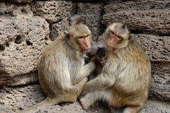 Affe, der Krabbe-Essenmakaken Ein mittelgroßer Affe, braunes ha Stockbild