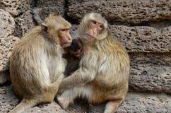 Affe, der Krabbe-Essenmakaken Ein mittelgroßer Affe, braunes ha Lizenzfreies Stockfoto
