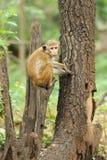 Affe in der lebenden Natur Lizenzfreie Stockfotos