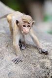 Affe in der lebenden Natur Stockbild