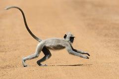 Affe in der lebenden Natur Lizenzfreies Stockbild