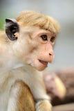 Affe in der lebenden Natur Lizenzfreie Stockfotografie