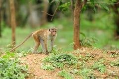 Affe in der lebenden Natur Lizenzfreies Stockfoto