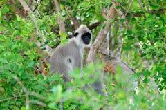 Affe in der lebenden Natur Stockfotografie