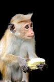 Affe in der lebenden Natur Stockfoto
