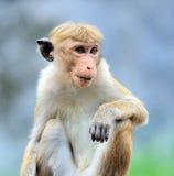 Affe in der lebenden Natur Lizenzfreie Stockbilder