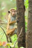 Affe in der lebenden Natur Stockbilder