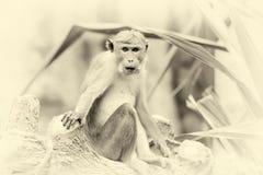 Affe in der lebenden Natur Weinlese-Effekt Stockfotografie